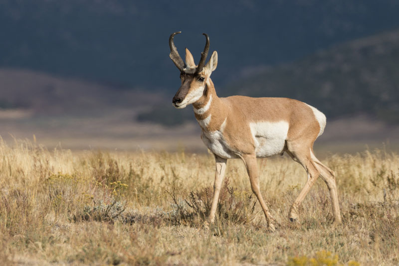 Pronghorn antelope buck walking in grass field during antelope season