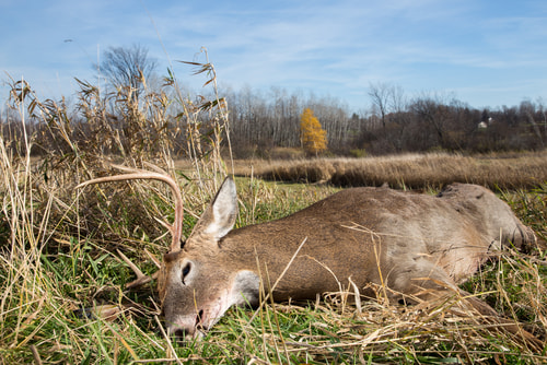 Whitetail buck downed during hunting season