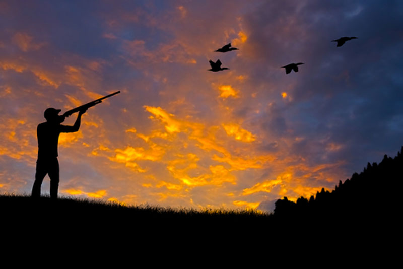 Silhouette duck hunter at dusk aiming shotgun at ducks flying overhead