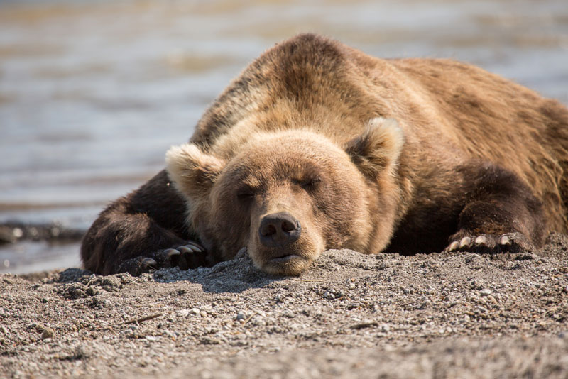 Bear lies on the shore of the lake