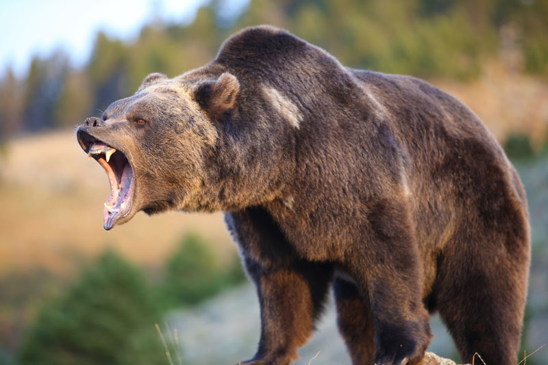 North american grizzly bear growling