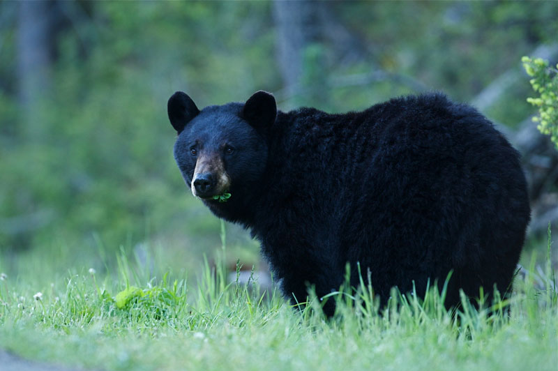 Black bear walking in grass during bear season