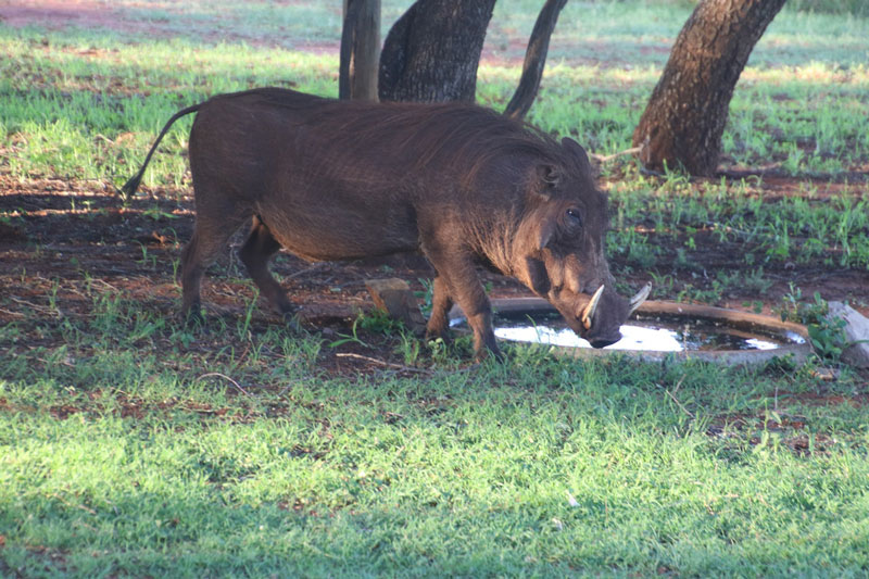 Wild boar walking during boar season