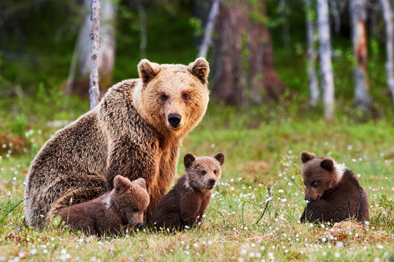 Brown mother bear protecting her cubs